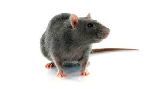 Commercial Rat control Reading