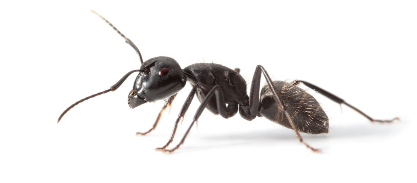 Commercial ant control Reading