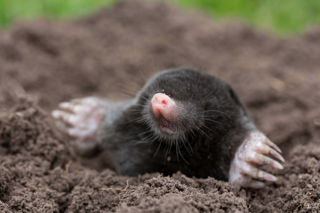 Moles control Chieveley