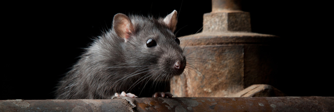 Rats in Shinfield, Reading, Wokingham, Newbury and Thatcham