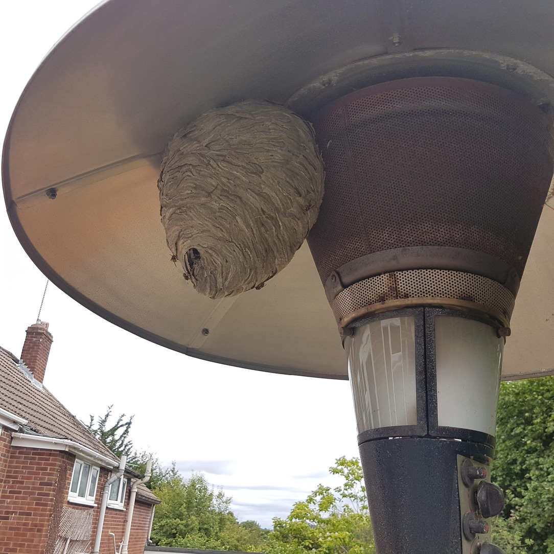 Wasps in Shinfield, Reading, Wokingham, Newbury and Thatcham